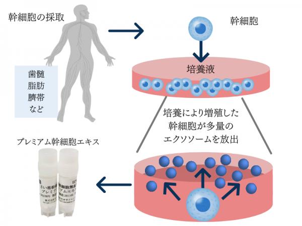 間葉系幹細胞 (2)